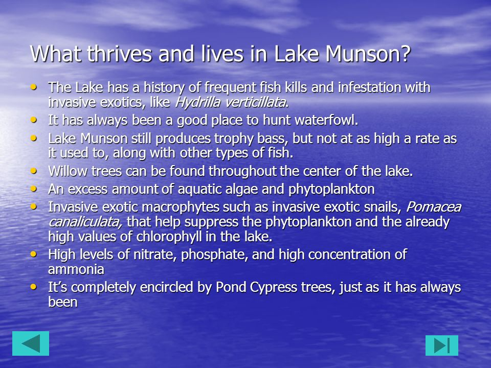 What thrives and lives in Lake Munson? The Lake has a history of frequent fish kills and infestation with invasive exotics, like Hydrilla verticillata