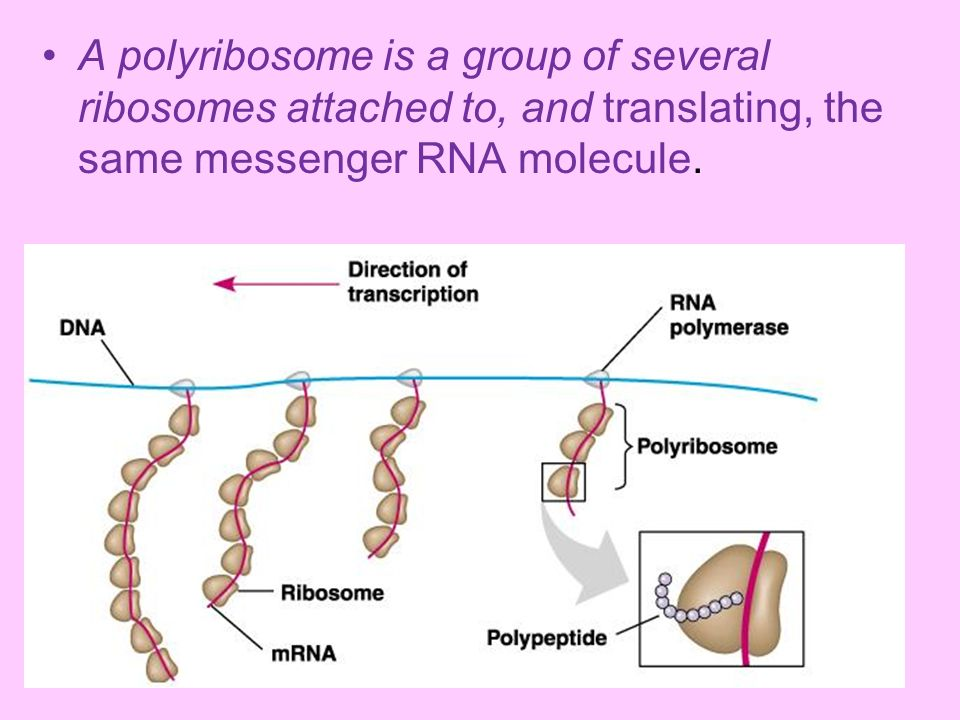 A polyribosome is a group of several ribosomes attached to, and translating, the same messenger RNA molecule.