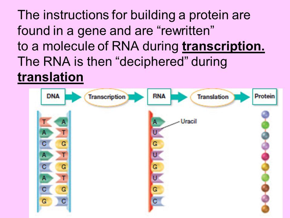 The instructions for building a protein are found in a gene and are rewritten to a molecule of RNA during transcription. The RNA is then deciphered du