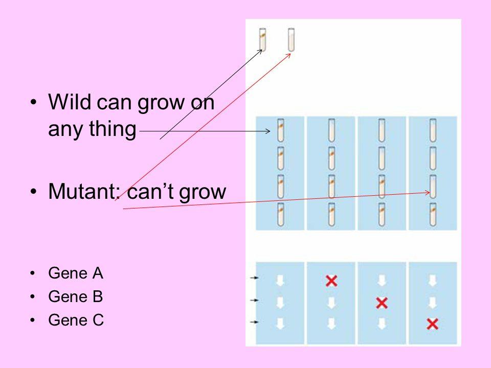 Wild can grow on any thing Mutant: cant grow Gene A Gene B Gene C