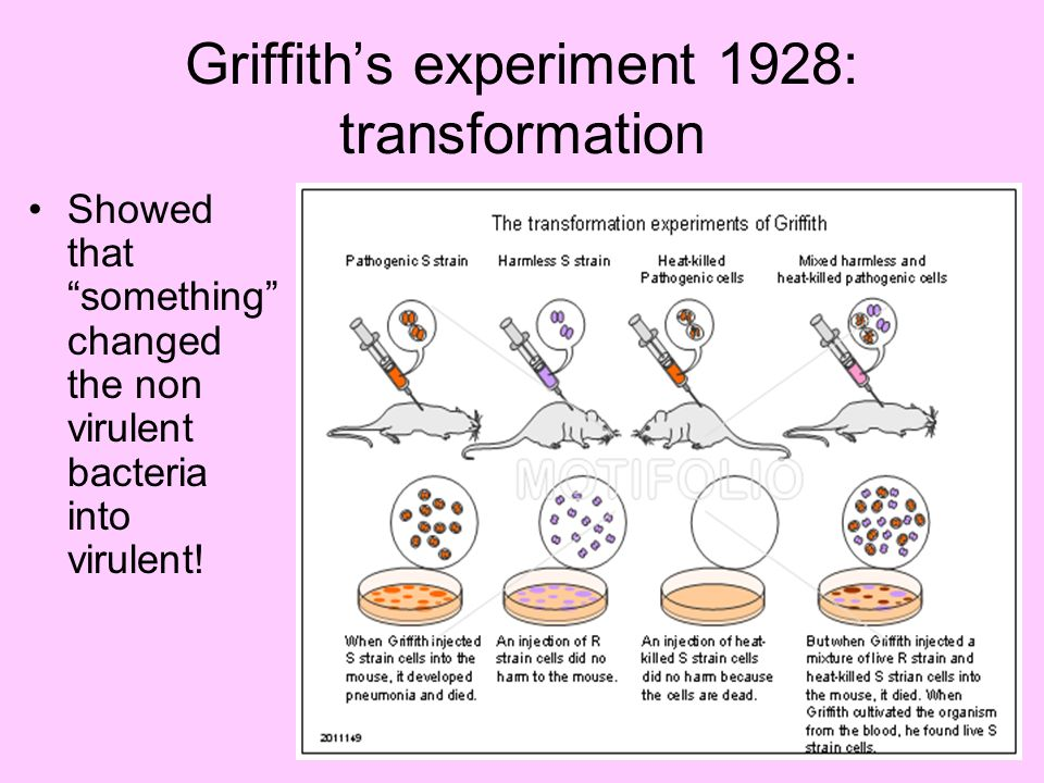 Griffiths experiment 1928: transformation Showed that something changed the non virulent bacteria into virulent!