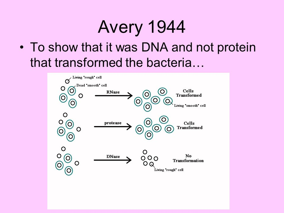 Avery 1944 To show that it was DNA and not protein that transformed the bacteria…