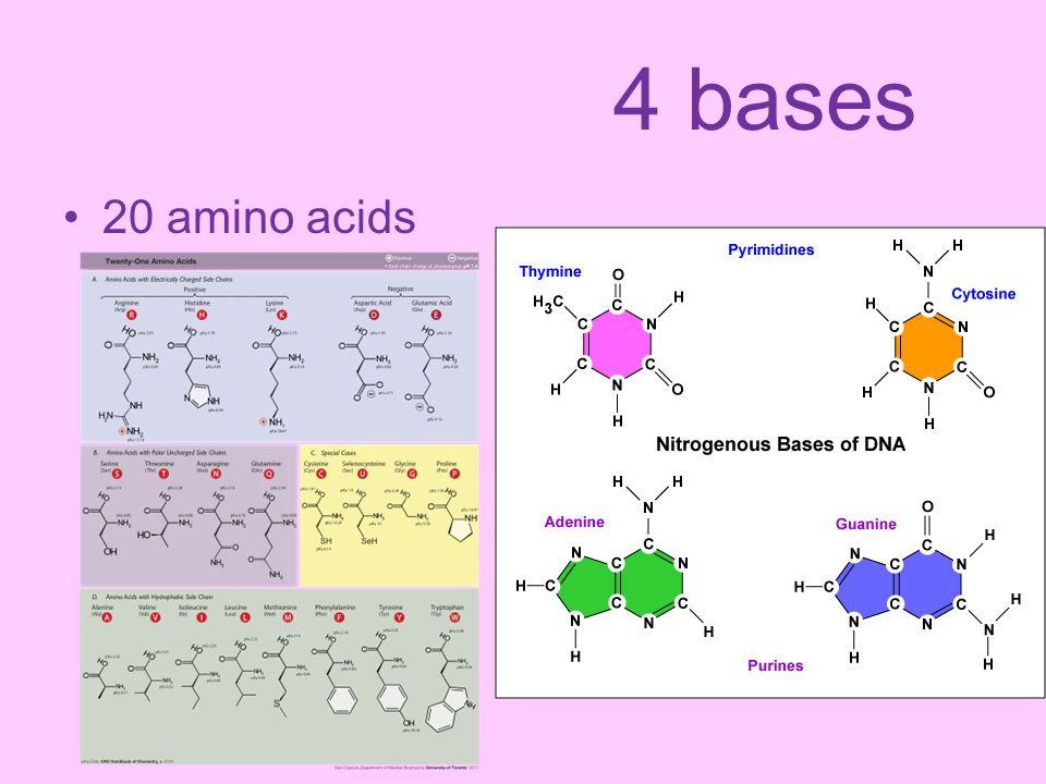 4 bases 20 amino acids