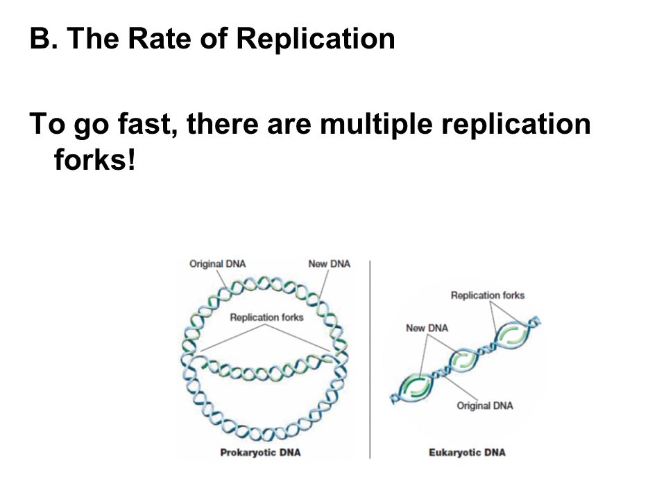 B. The Rate of Replication To go fast, there are multiple replication forks!