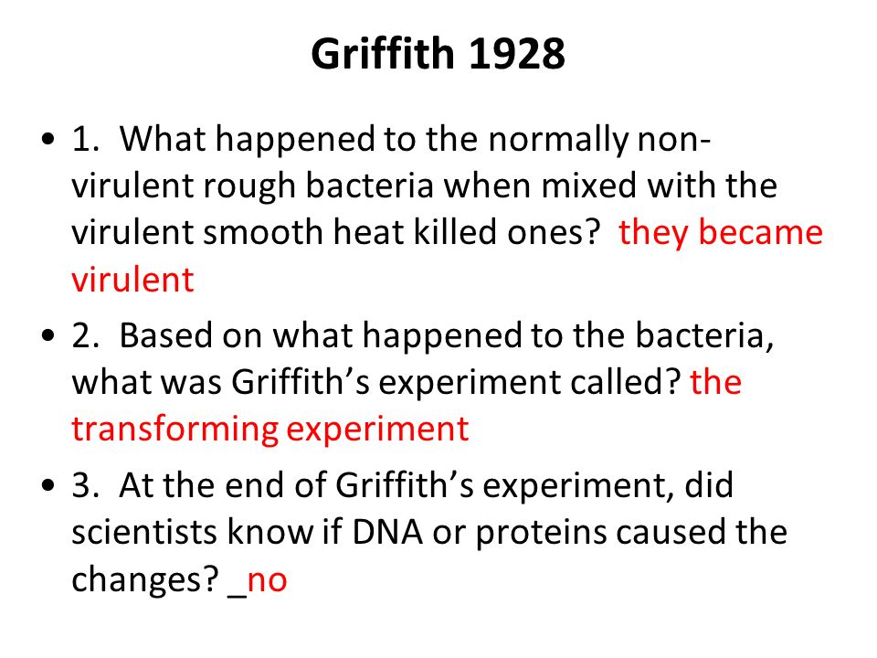 Griffith 1928 1. What happened to the normally non- virulent rough bacteria when mixed with the virulent smooth heat killed ones? they became virulent