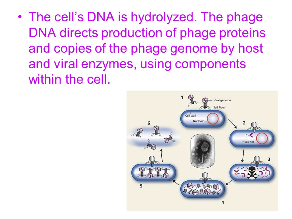 The cells DNA is hydrolyzed. The phage DNA directs production of phage proteins and copies of the phage genome by host and viral enzymes, using compon