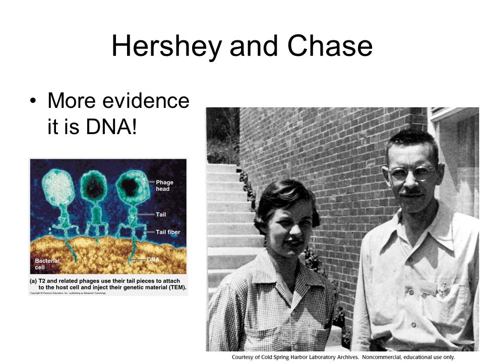 Hershey and Chase More evidence it is DNA!
