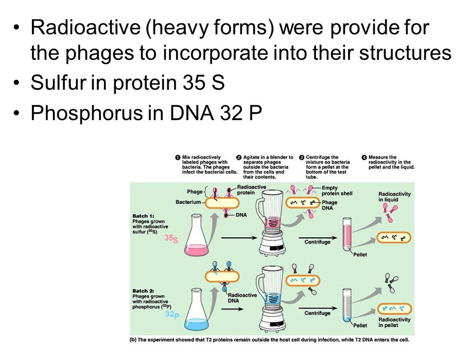 Radioactive (heavy forms) were provide for the phages to incorporate into their structures Sulfur in protein 35 S Phosphorus in DNA 32 P