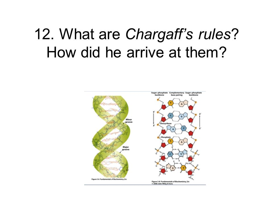 12. What are Chargaffs rules? How did he arrive at them?