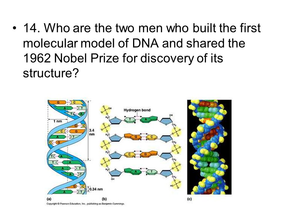 14. Who are the two men who built the first molecular model of DNA and shared the 1962 Nobel Prize for discovery of its structure?