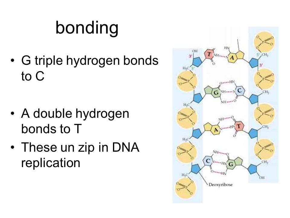 bonding G triple hydrogen bonds to C A double hydrogen bonds to T These un zip in DNA replication