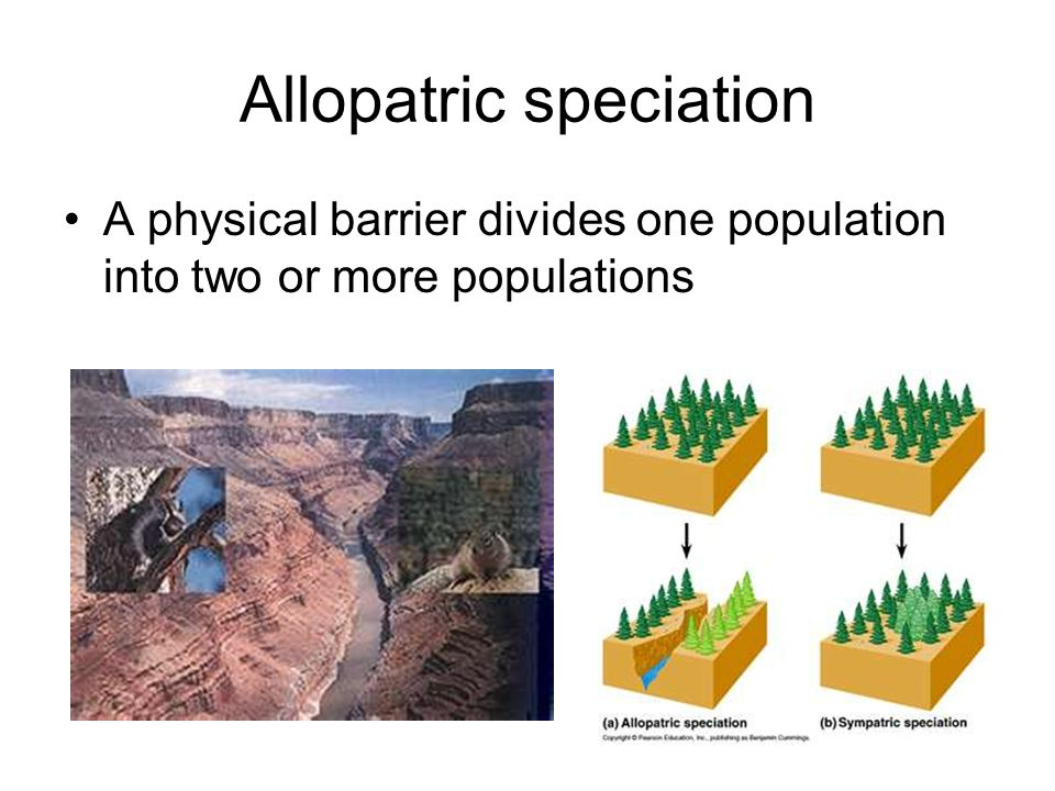 Allopatric speciation A physical barrier divides one population into two or more populations