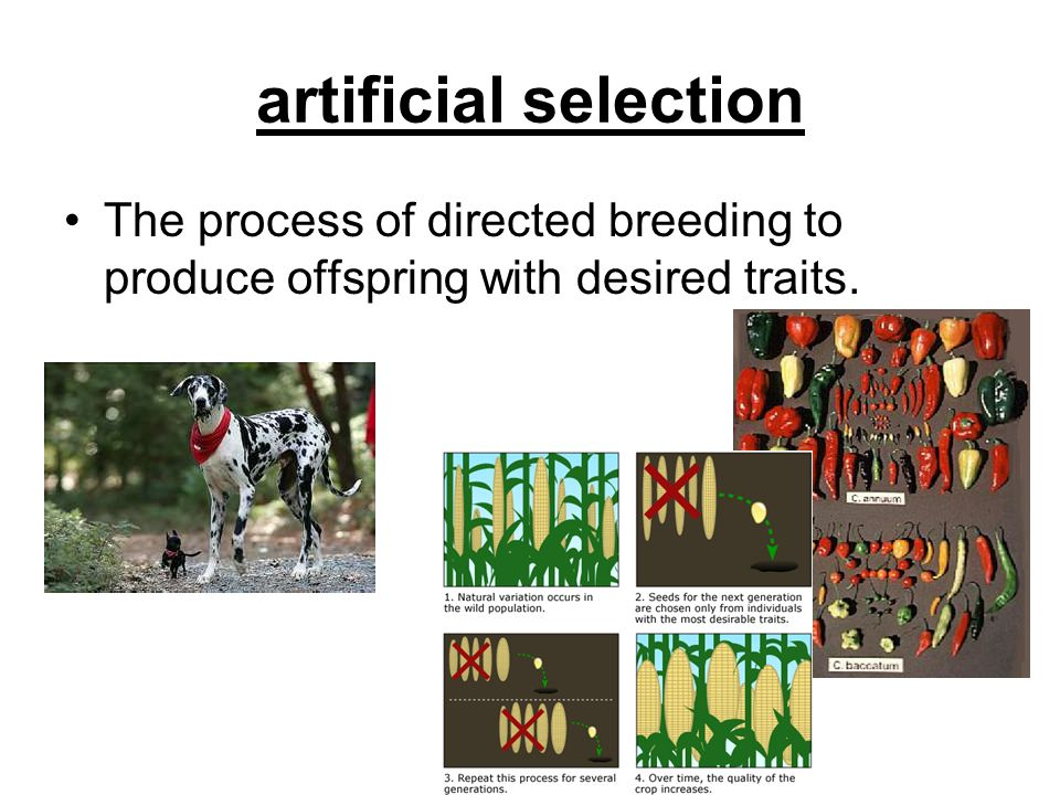 artificial selection The process of directed breeding to produce offspring with desired traits.