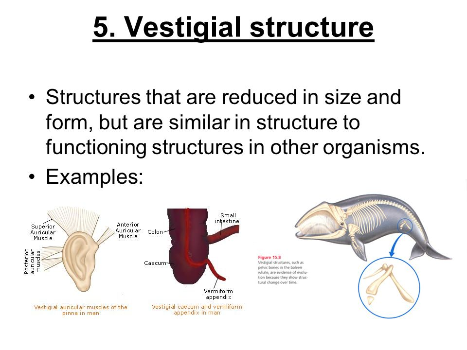 5. Vestigial structure Structures that are reduced in size and form, but are similar in structure to functioning structures in other organisms. Exampl