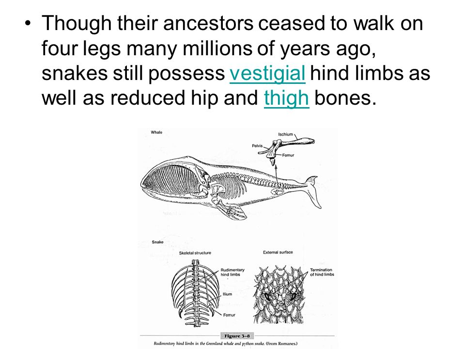 Though their ancestors ceased to walk on four legs many millions of years ago, snakes still possess vestigial hind limbs as well as reduced hip and th