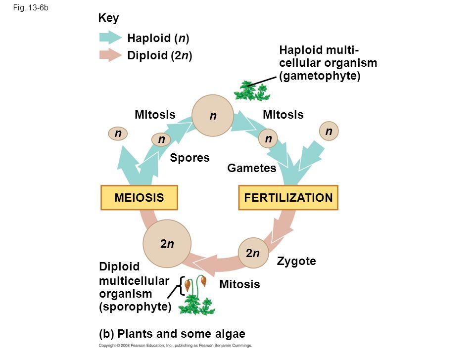 Fig. 13-6b Key Haploid (n) Diploid (2n) n n n n n 2n2n 2n2n Mitosis Zygote Spores Gametes MEIOSISFERTILIZATION Diploid multicellular organism (sporoph