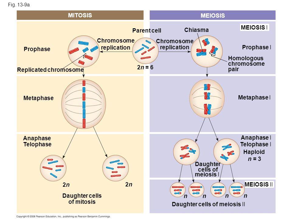 Fig. 13-9a MITOSIS MEIOSIS MEIOSIS I Prophase I Chiasma Chromosome replication Homologous chromosome pair Chromosome replication 2n = 6 Parent cell Pr