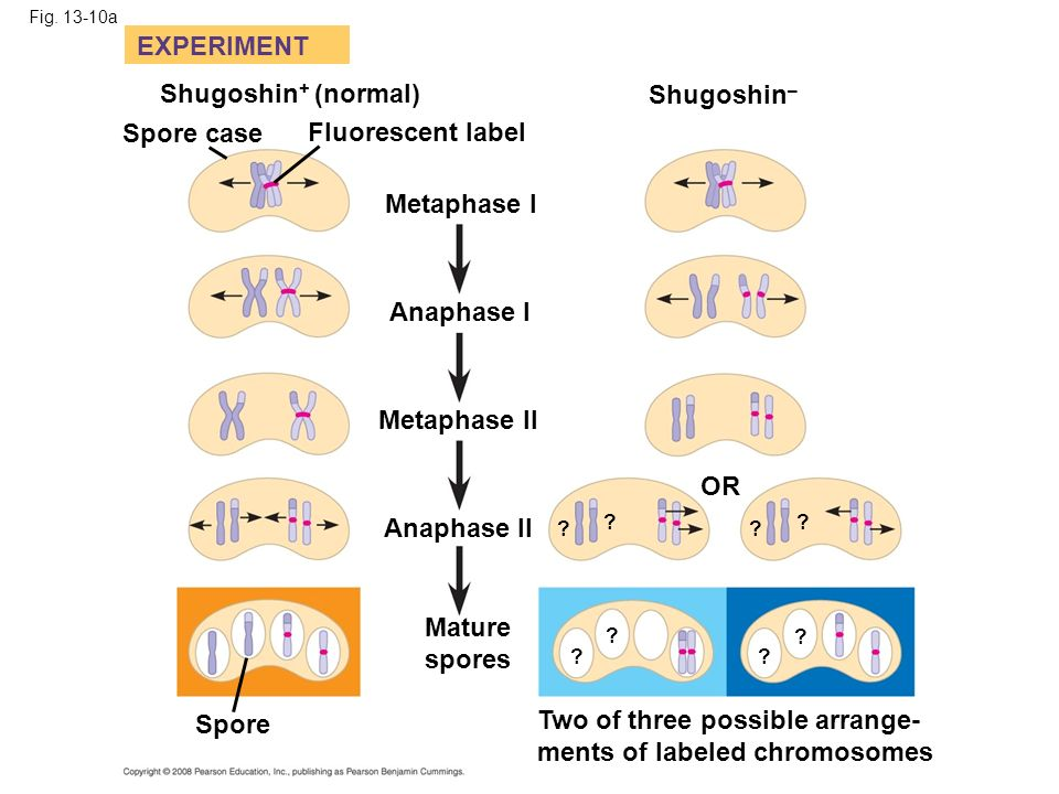 Fig. 13-10a EXPERIMENT Shugoshin + (normal) Spore case Fluorescent label Metaphase I Anaphase I Metaphase II Anaphase II Mature spores Spore OR Two of