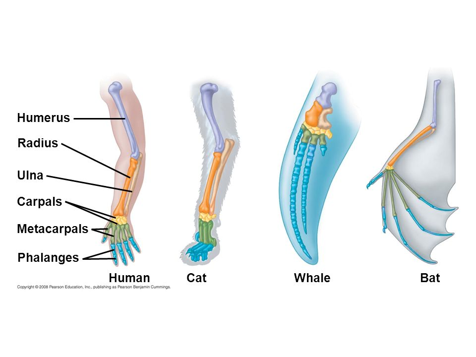 Fig. 22-17 Humerus Radius Ulna Carpals Metacarpals Phalanges HumanWhale Cat Bat