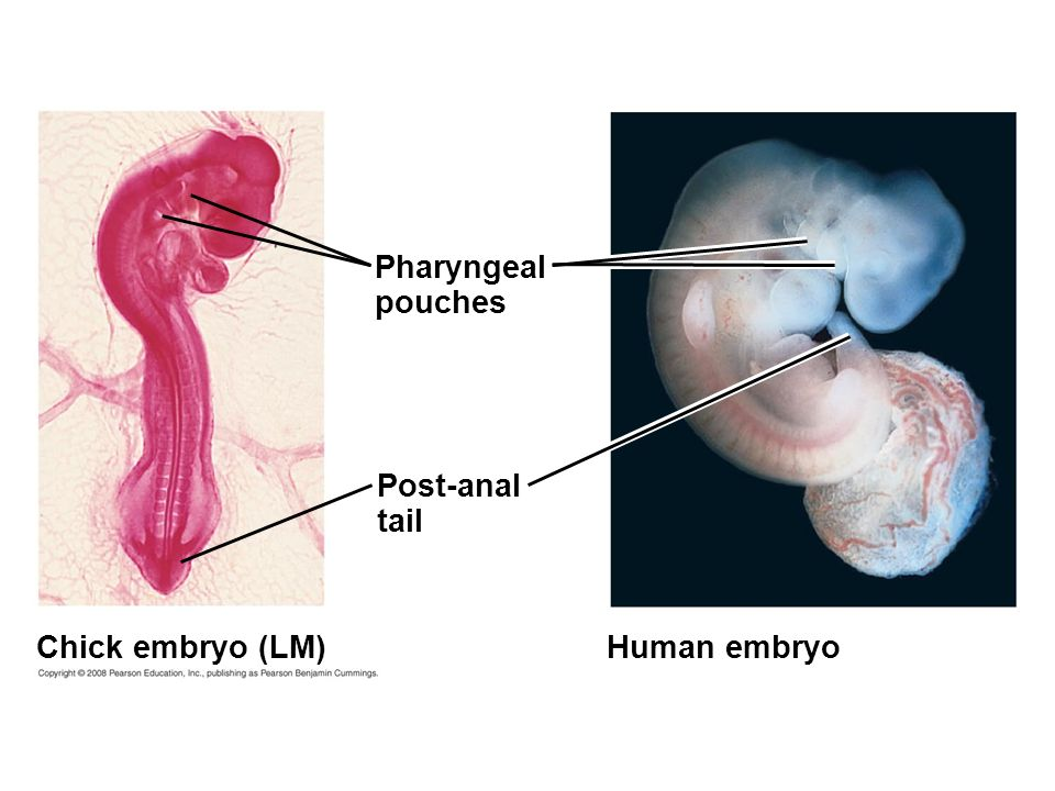 Fig. 22-18 Human embryoChick embryo (LM) Pharyngeal pouches Post-anal tail