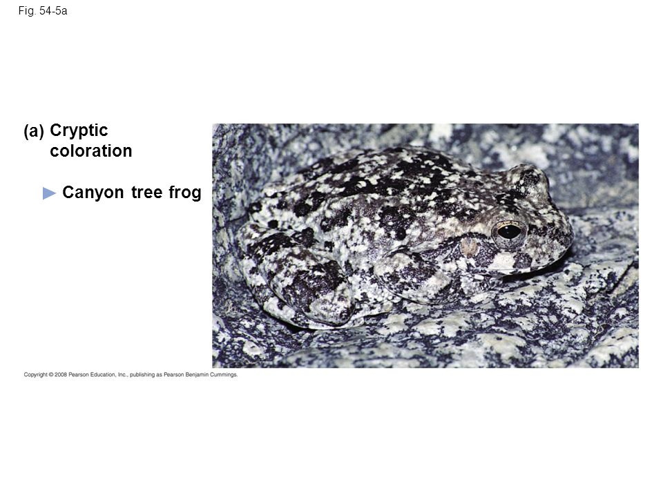 Fig. 54-5a Canyon tree frog (a) Cryptic coloration
