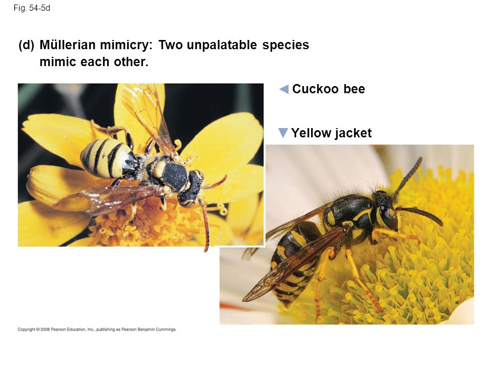 Fig. 54-5d Cuckoo bee Müllerian mimicry: Two unpalatable species mimic each other. Yellow jacket (d)