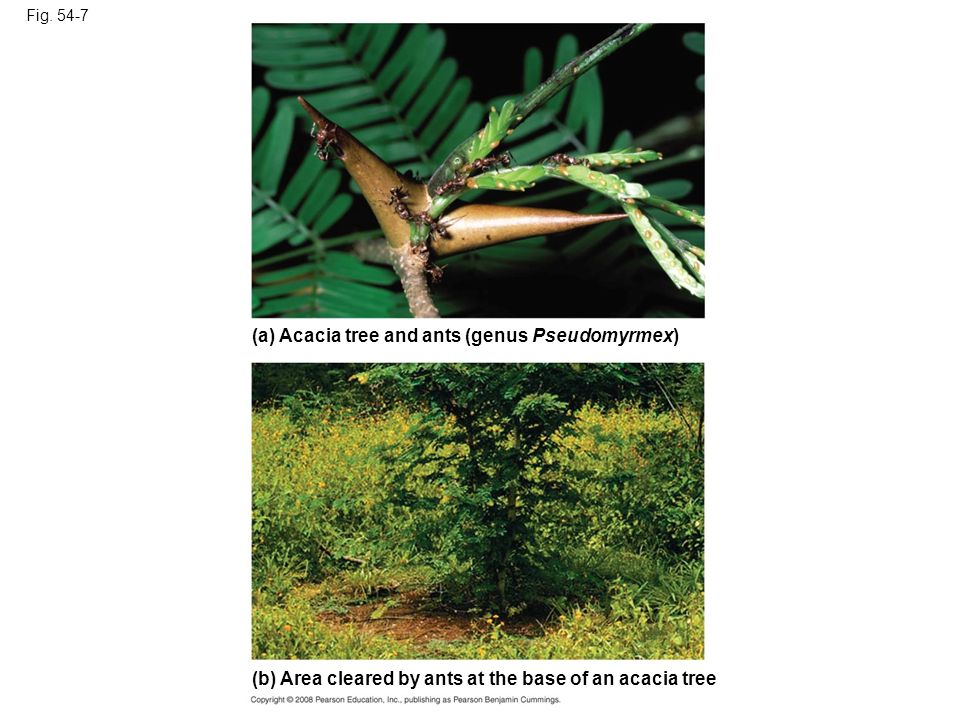 Fig. 54-7 (a) Acacia tree and ants (genus Pseudomyrmex) (b) Area cleared by ants at the base of an acacia tree