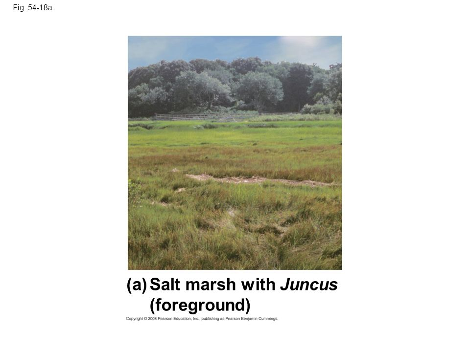 Fig. 54-18a Salt marsh with Juncus (foreground) (a)