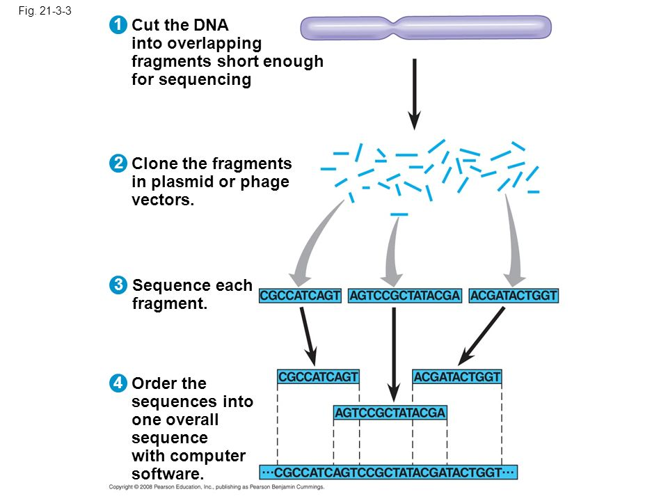 Fig. 21-3-3 Cut the DNA into overlapping fragments short enough for sequencing 1 2 3 4 Clone the fragments in plasmid or phage vectors. Sequence each