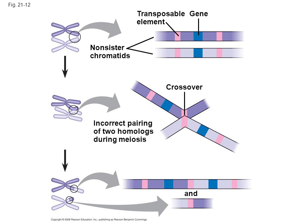 Fig. 21-12 Transposable element Gene Nonsister chromatids Crossover Incorrect pairing of two homologs during meiosis and