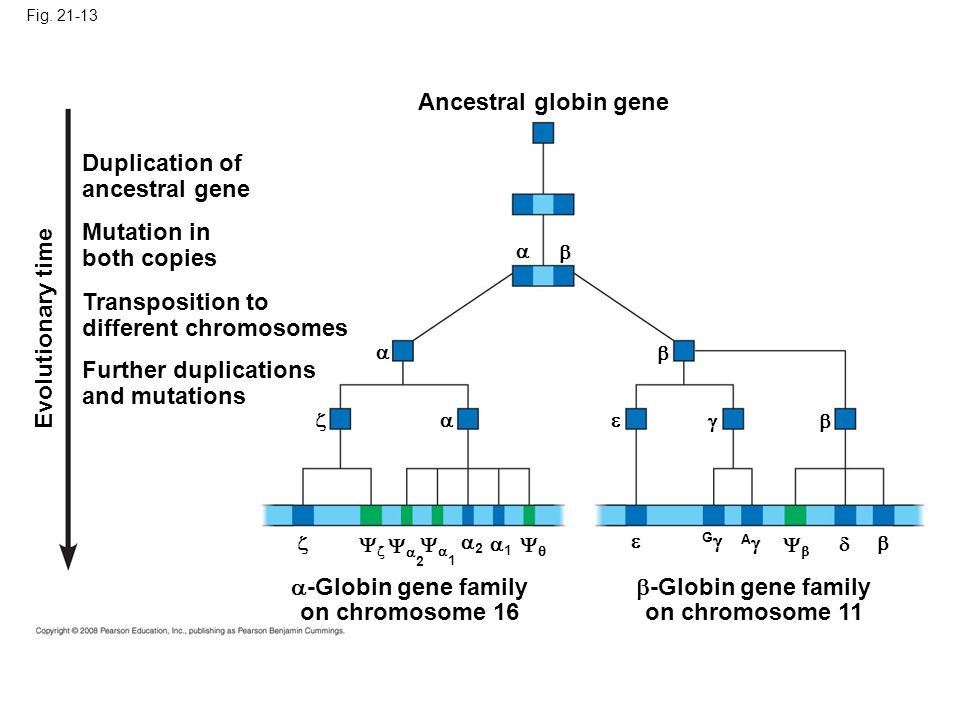 Fig. 21-13 Ancestral globin gene Duplication of ancestral gene Mutation in both copies Transposition to different chromosomes Further duplications and