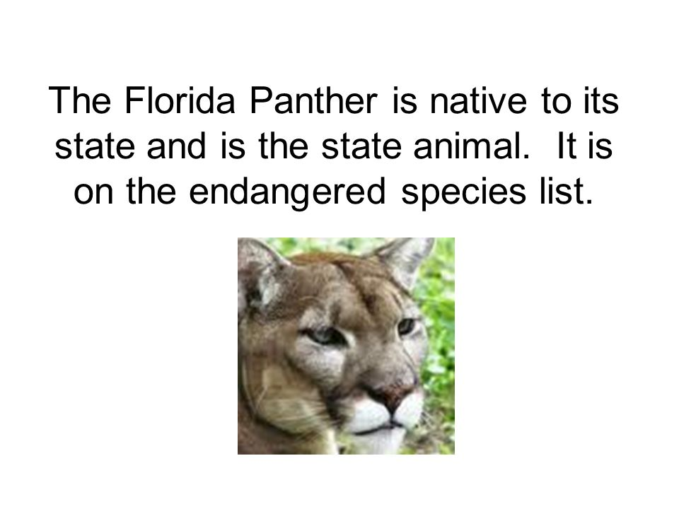 The Florida Panther is native to its state and is the state animal.