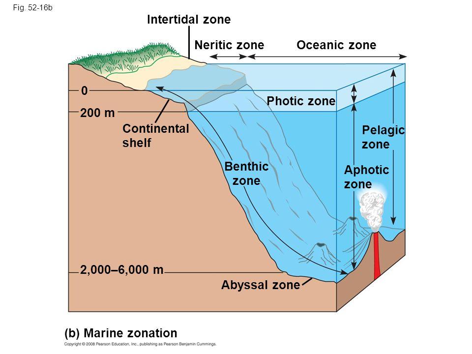 Fig. 52-16b (b) Marine zonation 2,000–6,000 m Abyssal zone Benthic zone Aphotic zone Pelagic zone Continental shelf 200 m Photic zone 0 Oceanic zoneNe