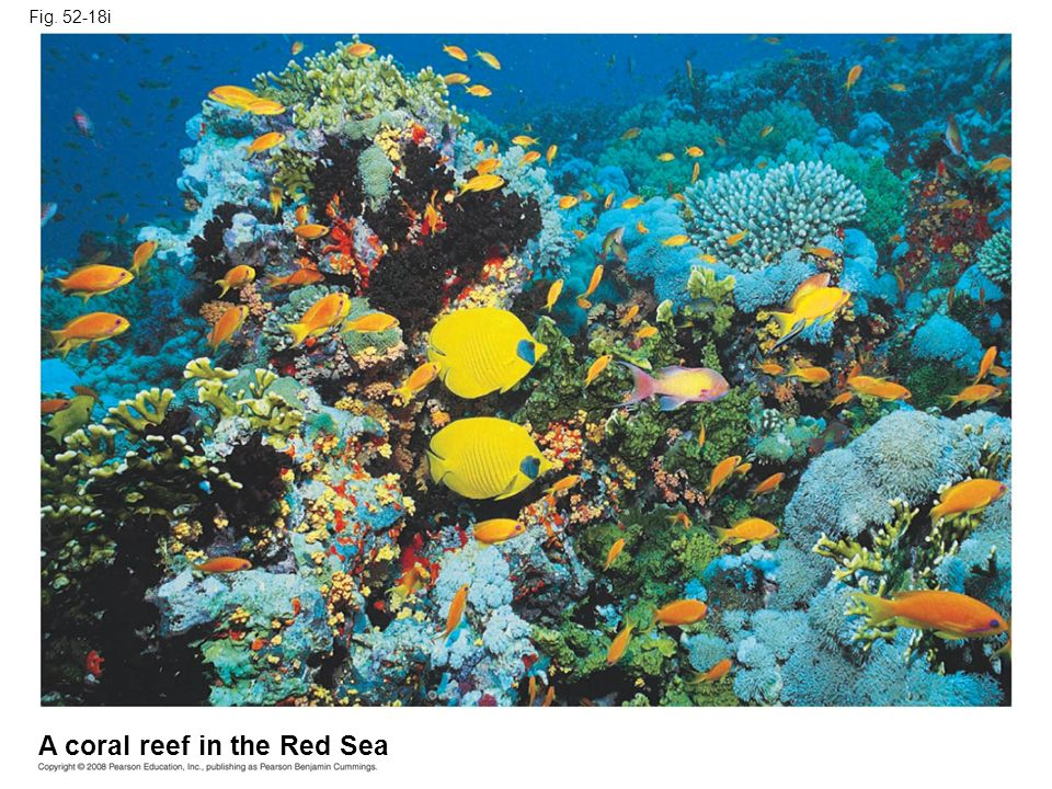 Fig. 52-18i A coral reef in the Red Sea