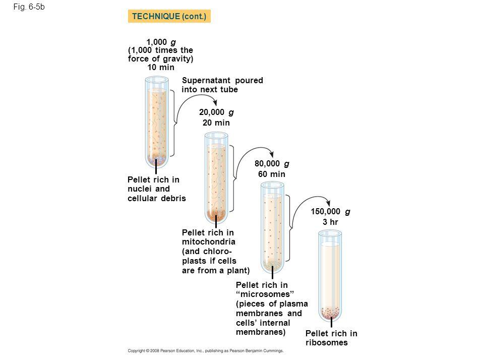 Fig. 6-5b 1,000 g (1,000 times the force of gravity) 10 min Supernatant poured into next tube 20,000 g 20 min 80,000 g 60 min 150,000 g 3 hr Pellet ri