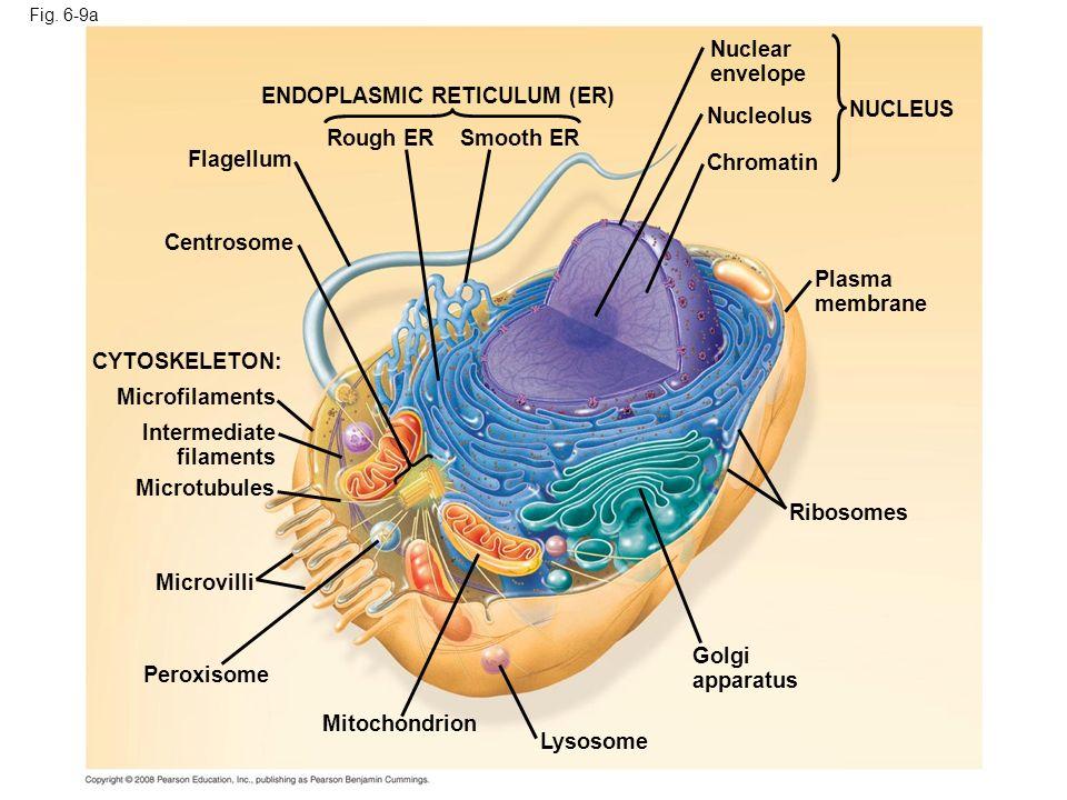 Fig. 6-9a ENDOPLASMIC RETICULUM (ER) Smooth ERRough ER Flagellum Centrosome CYTOSKELETON: Microfilaments Intermediate filaments Microtubules Microvill