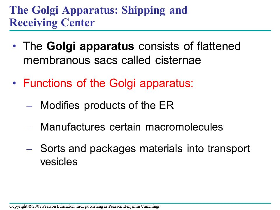 The Golgi apparatus consists of flattened membranous sacs called cisternae Functions of the Golgi apparatus: – Modifies products of the ER – Manufactu
