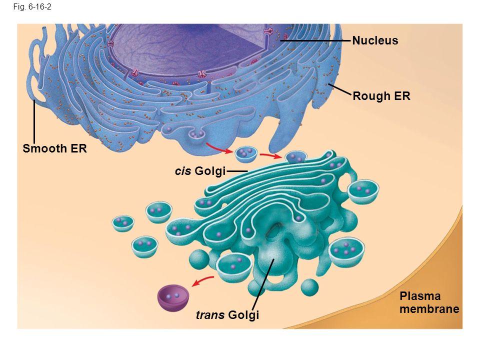 Fig. 6-16-2 Smooth ER Nucleus Rough ER Plasma membrane cis Golgi trans Golgi