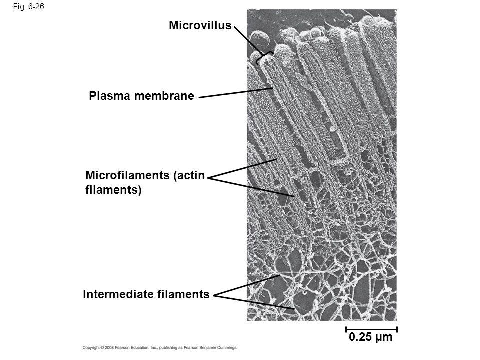 Fig. 6-26 Microvillus Plasma membrane Microfilaments (actin filaments) Intermediate filaments 0.25 µm