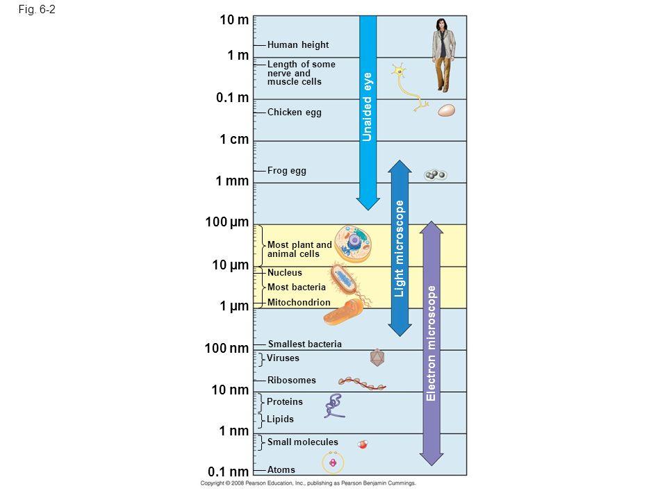 Fig. 6-2 10 m 1 m 0.1 m 1 cm 1 mm 100 µm 10 µm 1 µm 100 nm 10 nm 1 nm 0.1 nm Atoms Small molecules Lipids Proteins Ribosomes Viruses Smallest bacteria