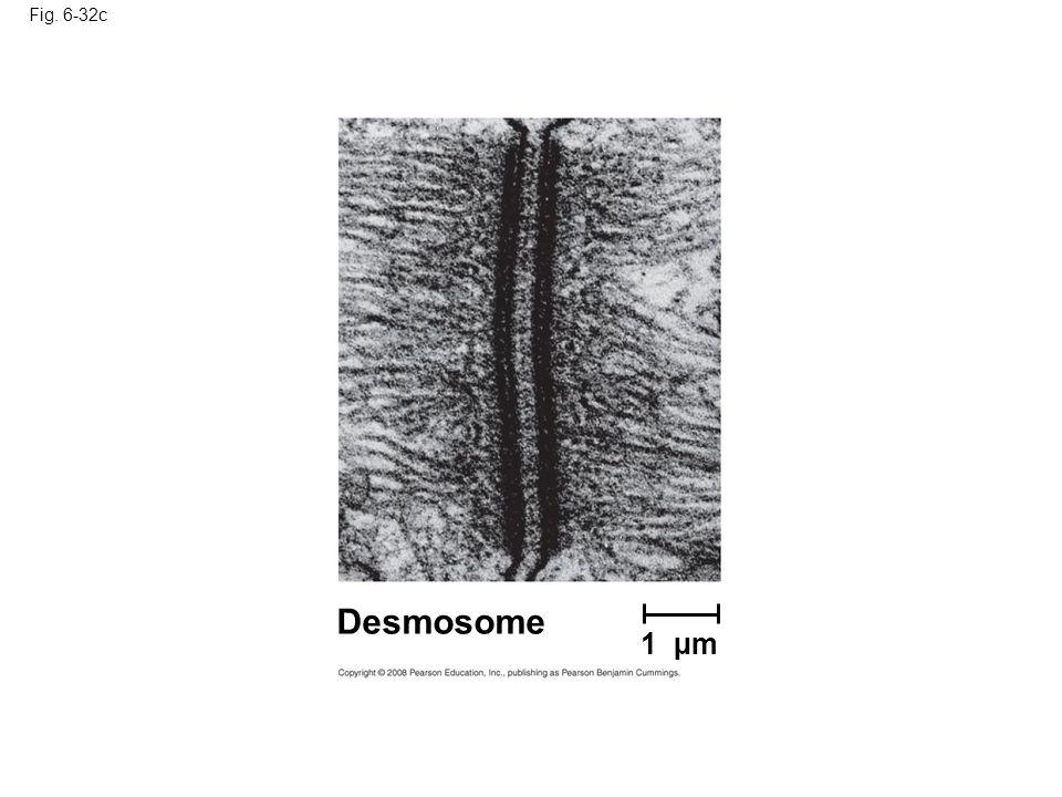 Fig. 6-32c Desmosome 1 µm