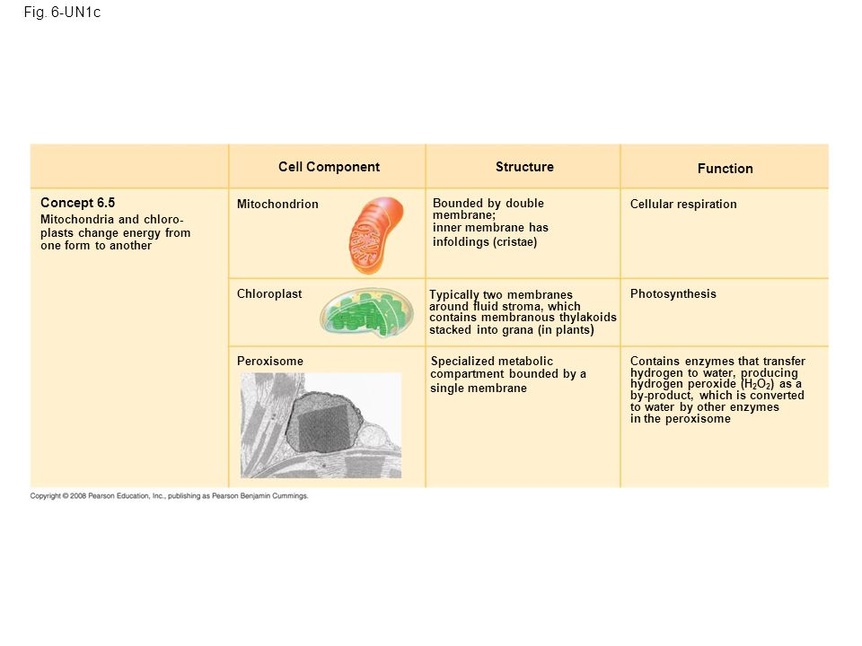 Fig. 6-UN1c Cell Component Concept 6.5 Mitochondria and chloro- plasts change energy from one form to another Mitochondrion Chloroplast Peroxisome Str
