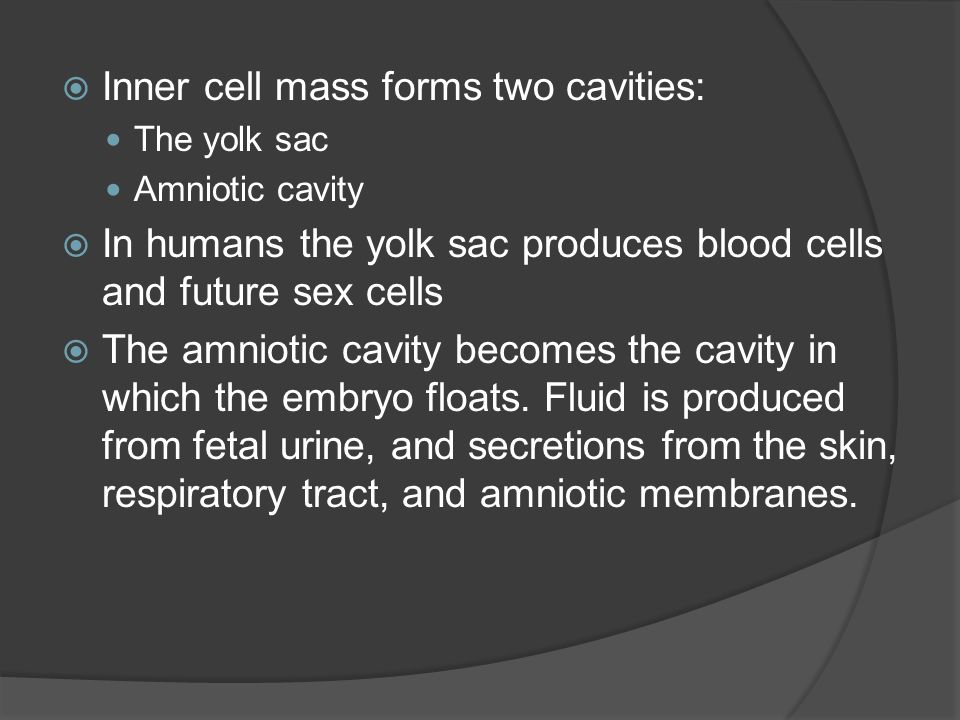 Inner cell mass forms two cavities: The yolk sac Amniotic cavity In humans the yolk sac produces blood cells and future sex cells The amniotic cavity