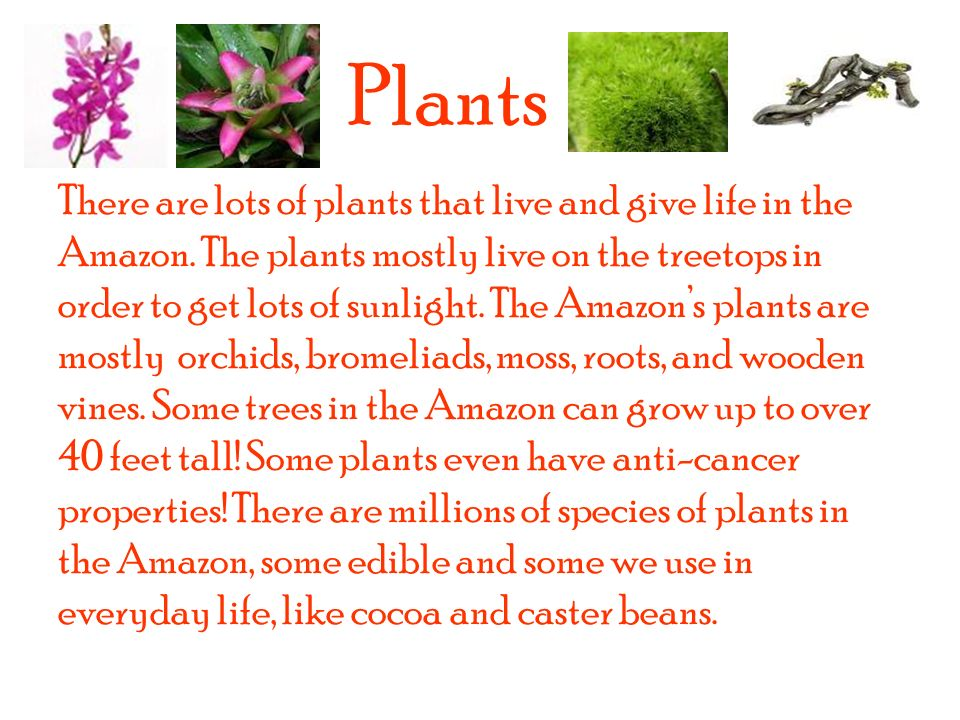 Plants There are lots of plants that live and give life in the Amazon.
