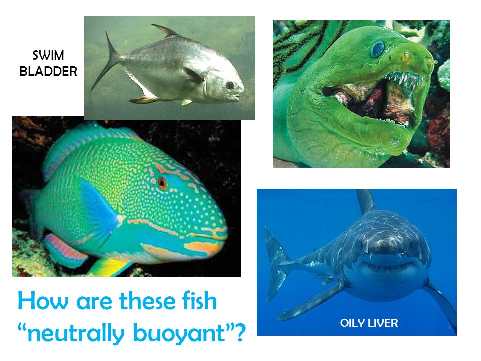 How are these fish neutrally buoyant? SWIM BLADDER OILY LIVER