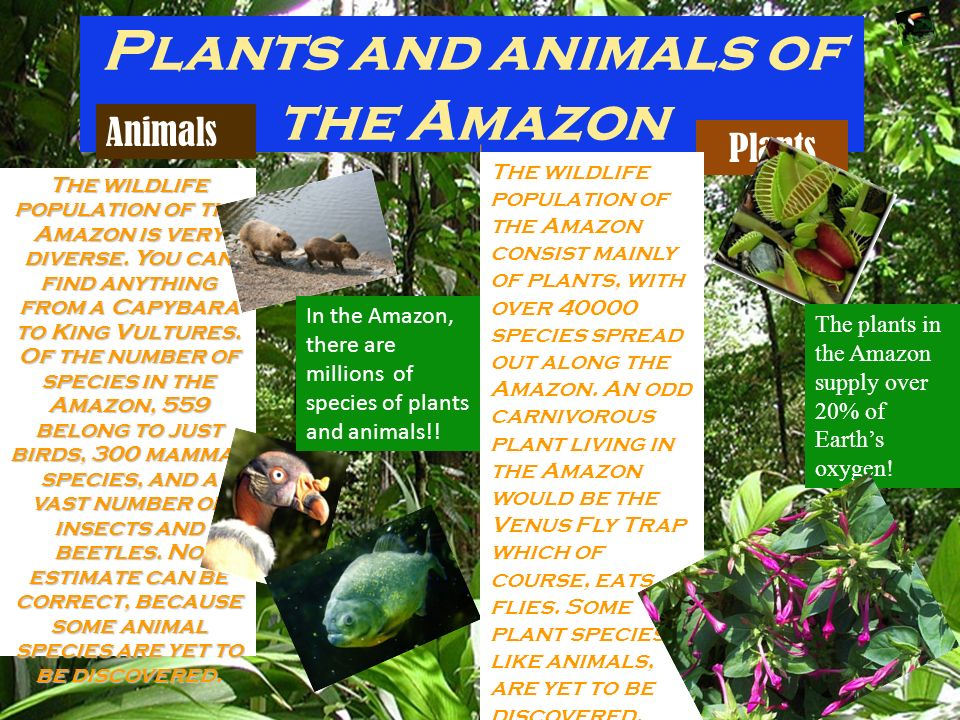 Plants and animals of the Amazon The wildlife population of the Amazon is very diverse. You can find anything from a Capybara to King Vultures. In the
