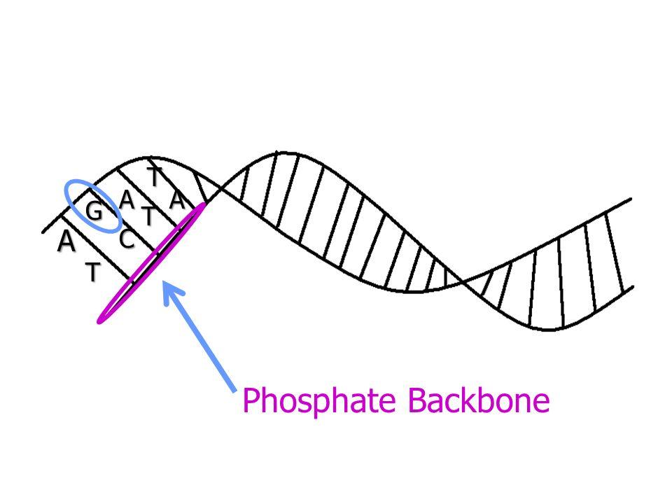A AA G T C T T Phosphate Backbone