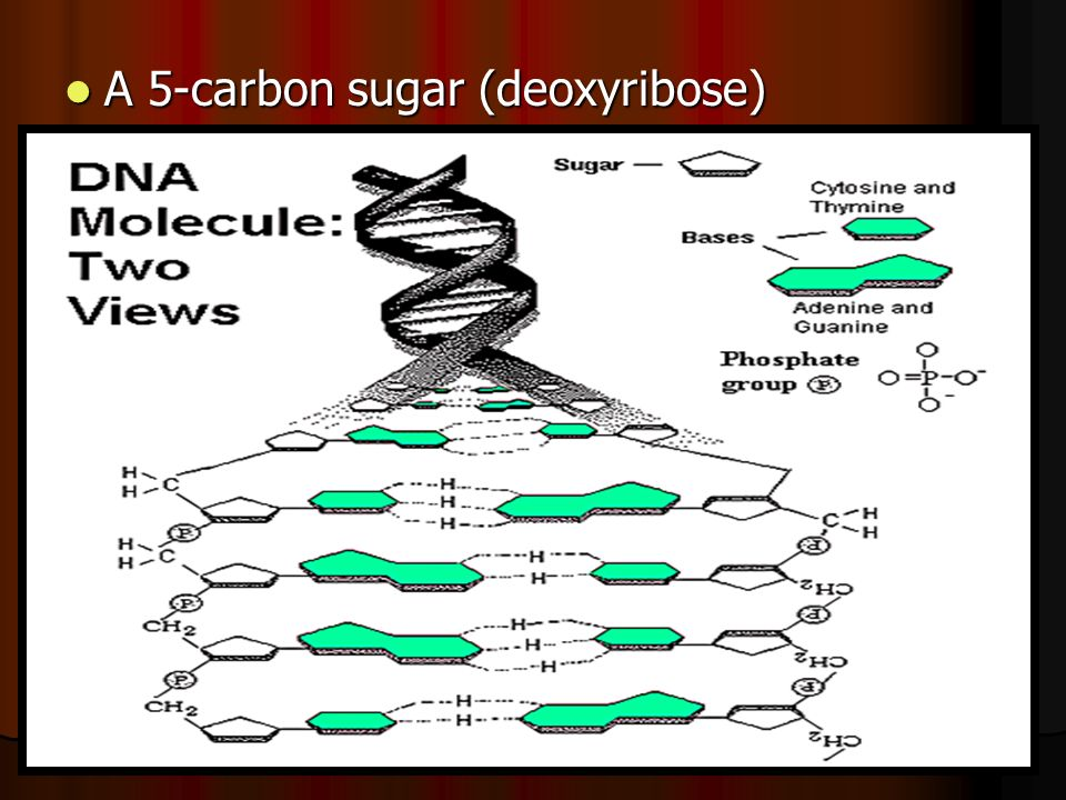 A 5-carbon sugar (deoxyribose) A 5-carbon sugar (deoxyribose)