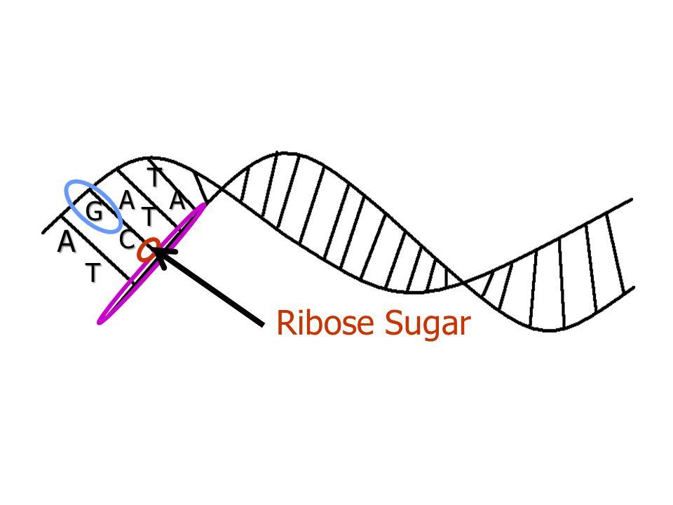 A AA G T C T T Ribose Sugar
