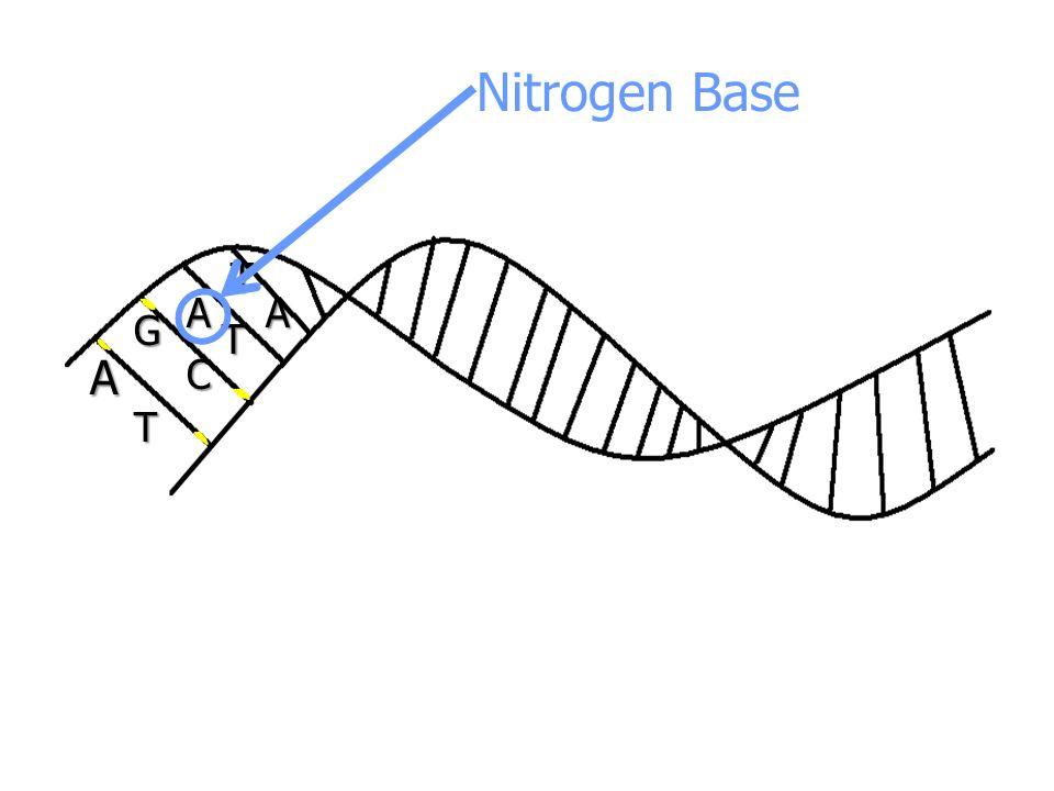 A AA G T C T T Nitrogen Base